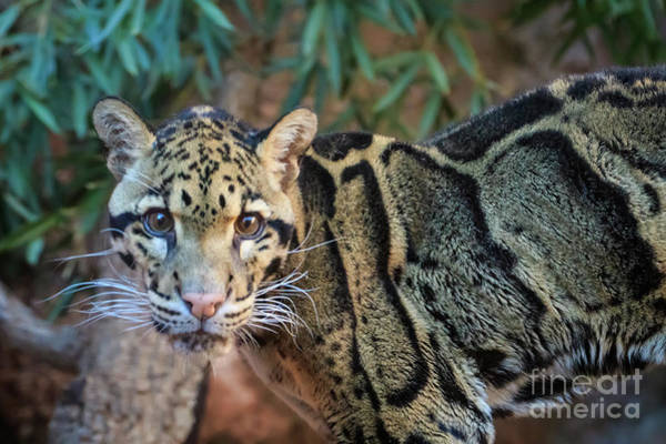 Photograph - Clouded Leopard by Richard Smith