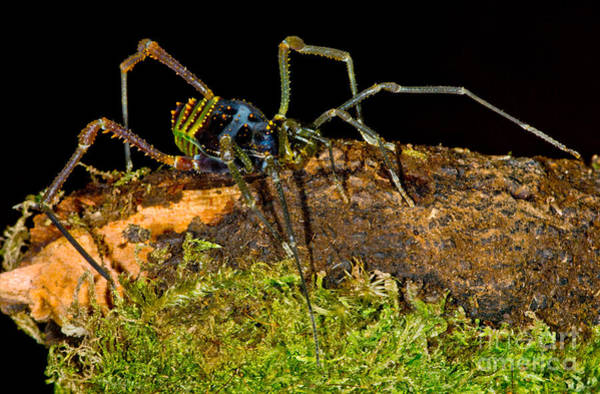 Harvestman Photograph - Colorful Harvestman by Dant� Fenolio