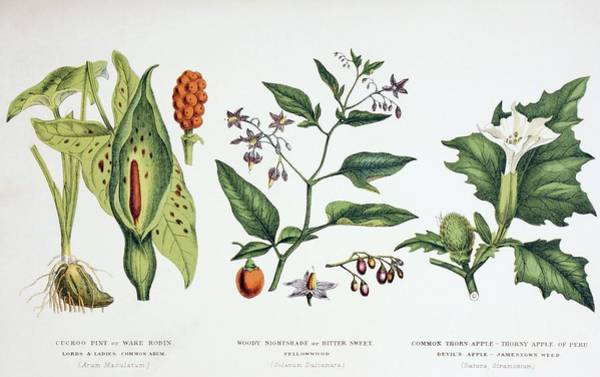 Weeds Drawing - Common Poisonous Plants. Left To Right by Vintage Design Pics