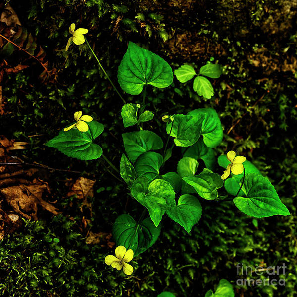 Photograph - Common Yellow Violet by Thomas R Fletcher