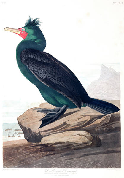 Cormorant Wall Art - Painting - Double-crested Cormorant by John James Audubon
