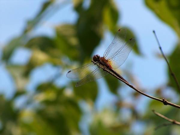 Photograph - Dragonfly by Belinda Cox