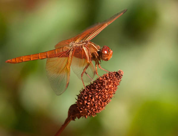 Photograph - Dragonfly by Tam Ryan