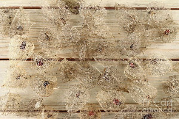 Wall Art - Photograph - Dried Fruits Of The Cape Gooseberry by Michal Boubin