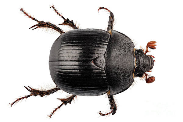 Antenna Painting - earth-boring dung beetle species Geotrupes stercorarius by Pablo Romero