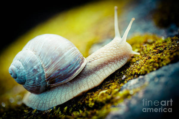 Photograph - Escargot Snail Artmif.lv by Raimond Klavins