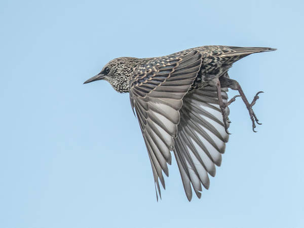 Photograph - European Starling by Tam Ryan