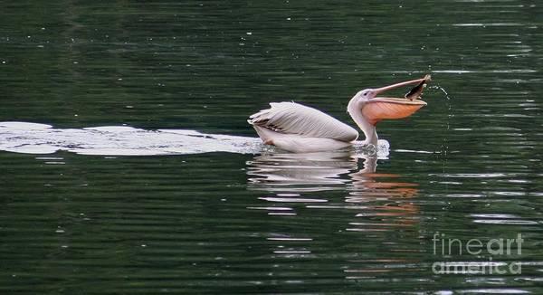 Wall Art - Photograph - Fishing Pelican by Valia Bradshaw