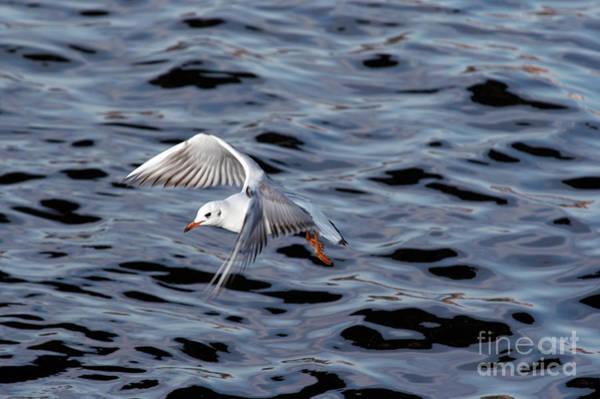 Wall Art - Photograph - Flying Gull by Michal Boubin