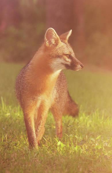Photograph - Fox by Larah McElroy