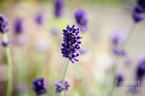 Wall Art - Photograph - Fresh Lavender by Kati Finell