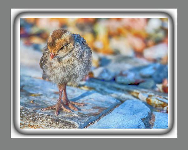 Photograph - Gambel's Quail Chick 9833 by Tam Ryan