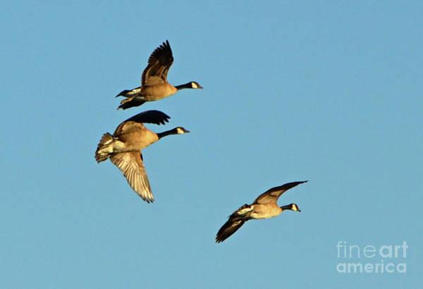 Photograph - 3 Geese In Flight by Cindy Schneider