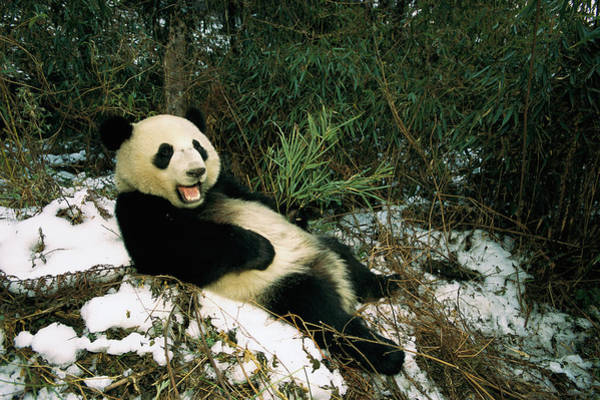 Photograph - Giant Panda Ailuropoda Melanoleuca by Pete Oxford