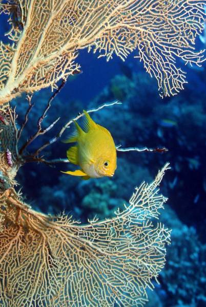 Pomacentridae Photograph - Golden Damselfish by Georgette Douwma