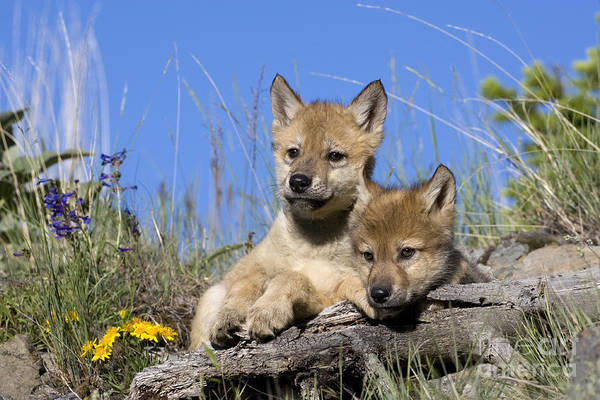 Timber Wolves Photograph - Gray Wolf Cubs by Jean-Louis Klein & Marie-Luce Hubert