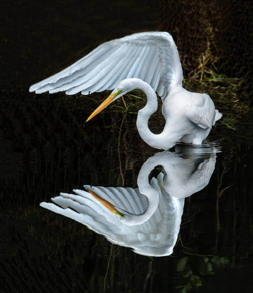 Photograph - Great Egret Reflection by William Bitman