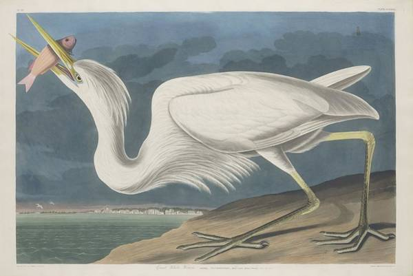 Wall Art - Drawing - Great White Heron by Dreyer Wildlife Print Collections