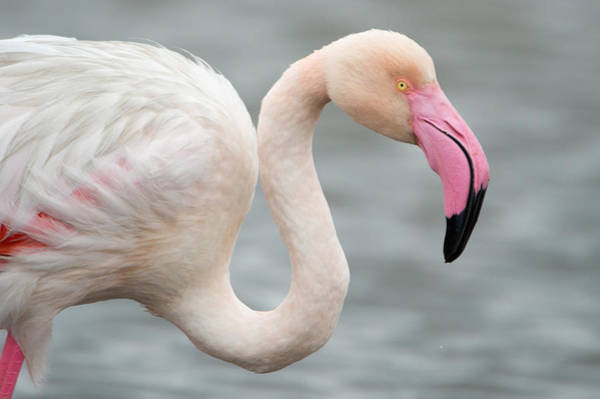 Water Birds Photograph - Greater Flamingo Phoenicopterus Roseus by Panoramic Images