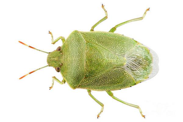 Arthropods Painting - Green Shield Bug Species Palomena Prasina by Pablo Romero