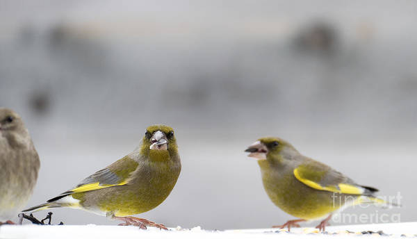 Photograph - Greenfinches by Odon Czintos