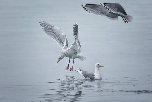 Photograph - 3 Gulls by Randy Hall
