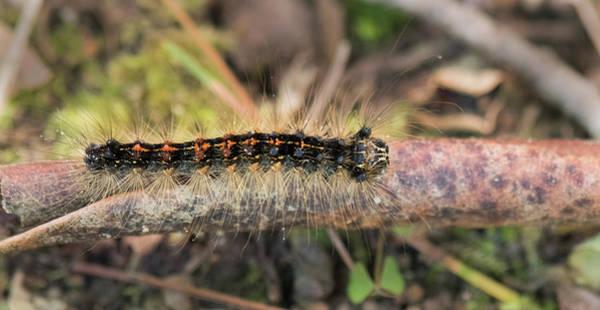 Craw Wall Art - Photograph - Gypsy Moth Caterpillar by Clifford Pugliese