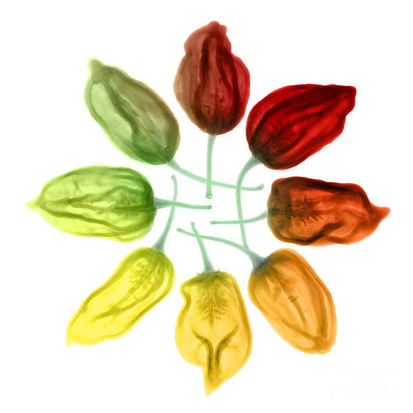 Photograph - Habanero Chili Peppers, X-ray by Ted Kinsman