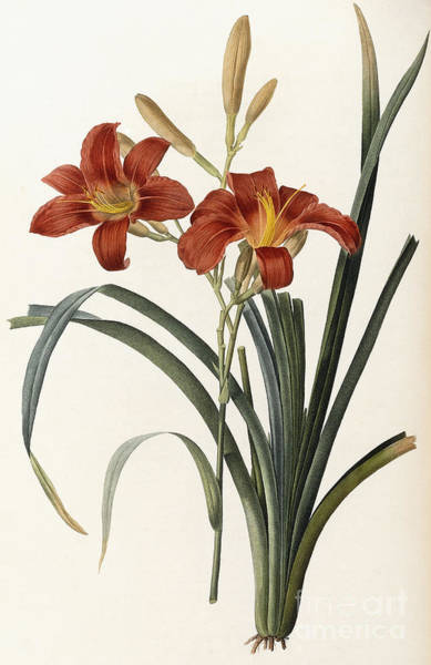 Wall Art - Painting - Hemerocallis Fulva by Pierre Joseph Redoute