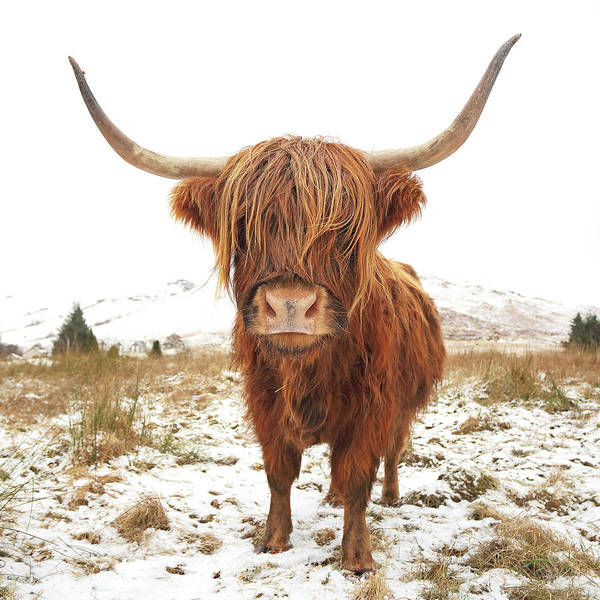 Wall Art - Photograph - Highland Cow by Grant Glendinning