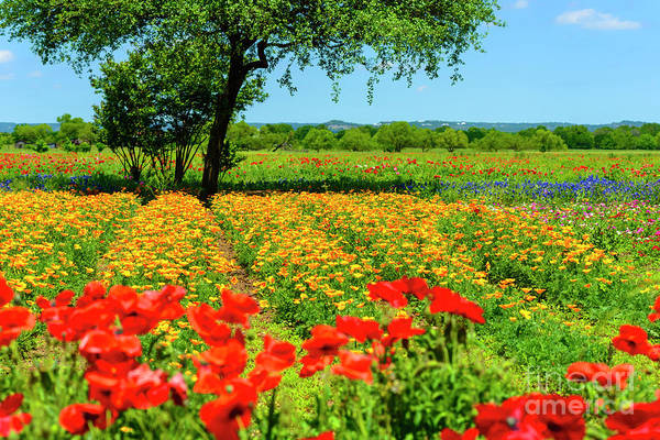 Photograph - Hill Country In Bloom by Thomas R Fletcher
