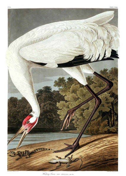 Wall Art - Painting - Hooping Crane by John James Audubon