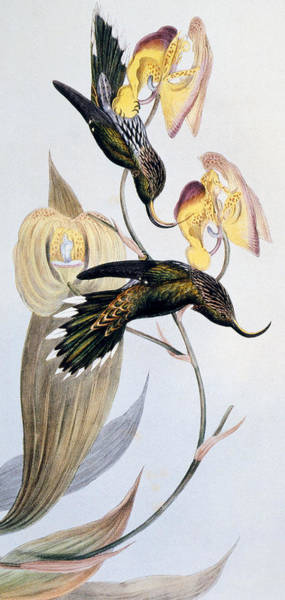 Sickle Painting - Hummingbirds by John Gould
