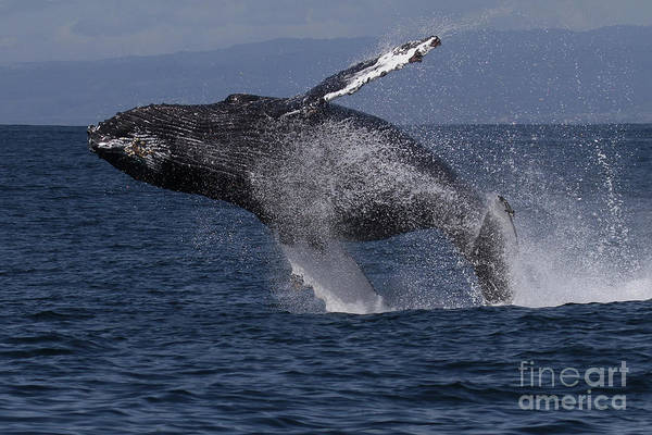 Photograph - Humpback  Whale In A Full Breach, April 10, 2017 Photo By Pat Hathaway by California Views Archives Mr Pat Hathaway Archives