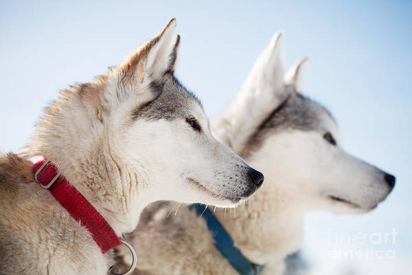 Wall Art - Photograph - Huskies by Kati Finell