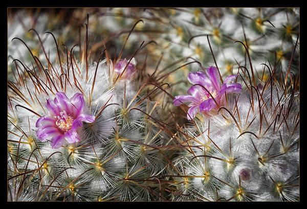 Cactus Flower Photograph - In Bloom by Robert Fawcett
