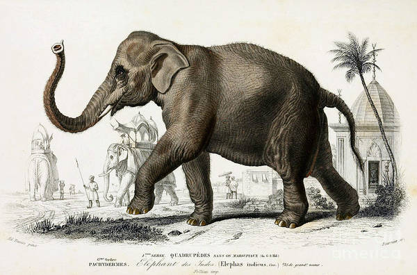 Elephants Photograph - Indian Elephant, Endangered Species by Biodiversity Heritage Library