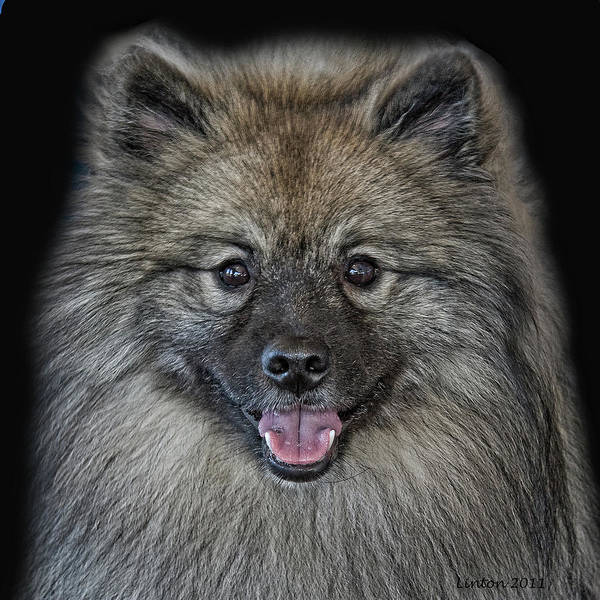 Photograph - Keeshond by Larry Linton