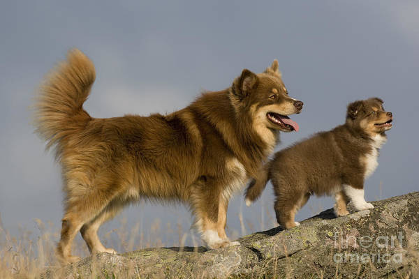 Breed Of Dog Photograph - Lapinkoira Dog And His Pup by Jean-Louis Klein & Marie-Luce Hubert