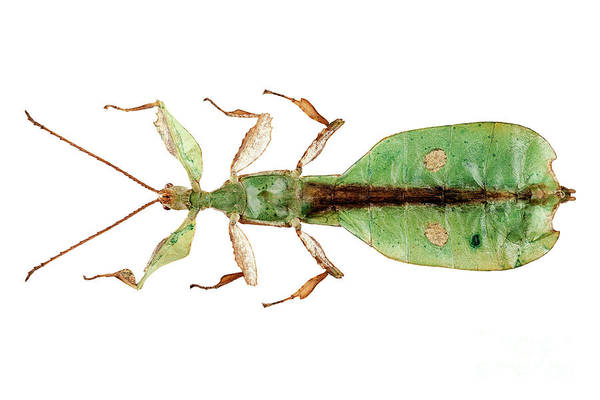 Wall Art - Painting - Leaf Insect Species Phyllium Bioculatum Male by Pablo Romero