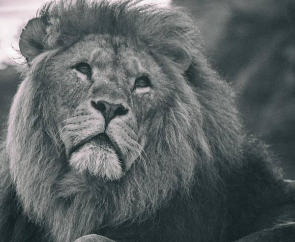 Wall Art - Photograph - Lion Portrait by Martin Newman