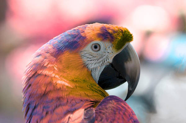 Photograph - Macaw by Artistic Panda