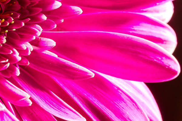 Photograph - Macro Close-up Of A Pink Chrysanthemum Flower  by John Williams