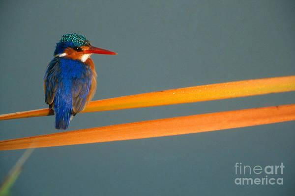 Alcedo Photograph - Malachite Kingfisher by Art Wolfe