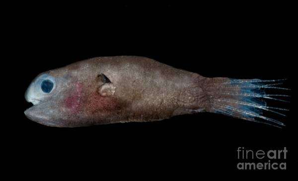 Angling Photograph - Male Anglerfish by Dant� Fenolio