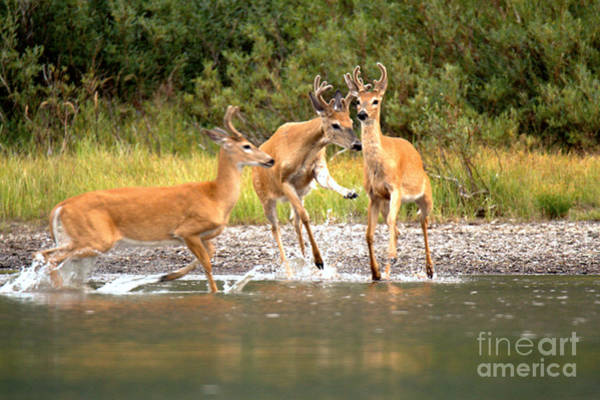 Photograph - 3 Many Glacier Deer by Adam Jewell