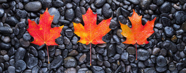 Wall Art - Photograph - 3 Maple Leaves by Steve Gadomski