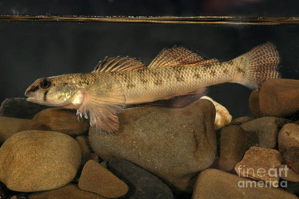 Logperch Photograph - Mobile Logperch Percina Kathae by Ted Kinsman