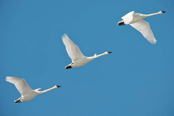 Wall Art - Photograph - 3 Montana Swans by Todd Klassy