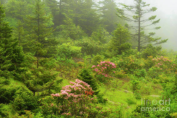 Photograph - Mountain Laurel In Mist by Thomas R Fletcher